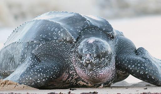 Leatherback Sea Turtles return to Puerto Vallarta