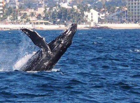 2 Humpback Whales sighted in the bay.