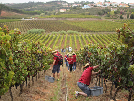 Vindimas, experiencing Portuguese wine harvesting traditions at Quinta do Gradil
