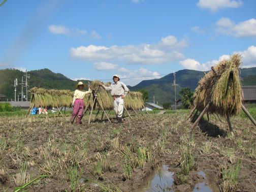 稲刈り終わり、次は脱穀です。