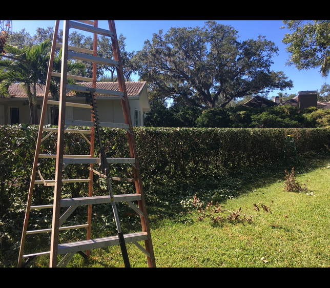 hedge trimming after.PNG