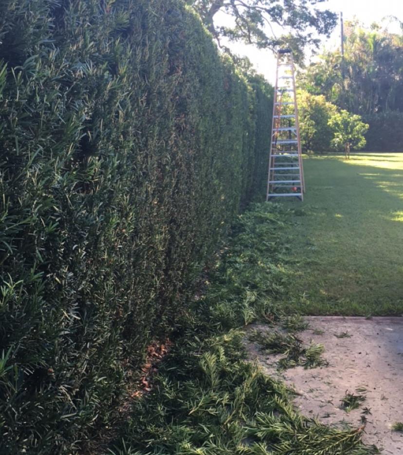 hedge trim after.JPG