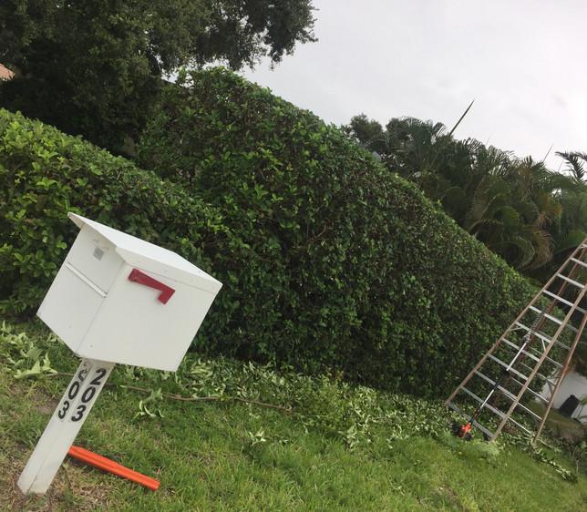 hedge after.JPG
