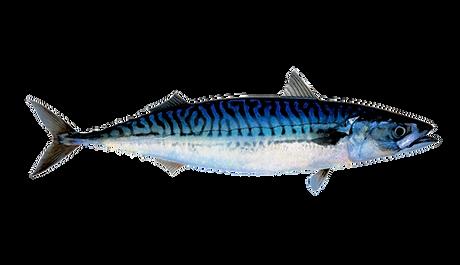 mackerel_top_regular.png