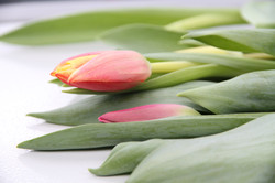 Tulpen_363_160114