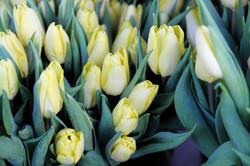 Tulpen_373_160114
