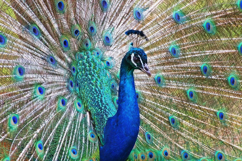 peacock-photo_fkpNF8tO.jpg