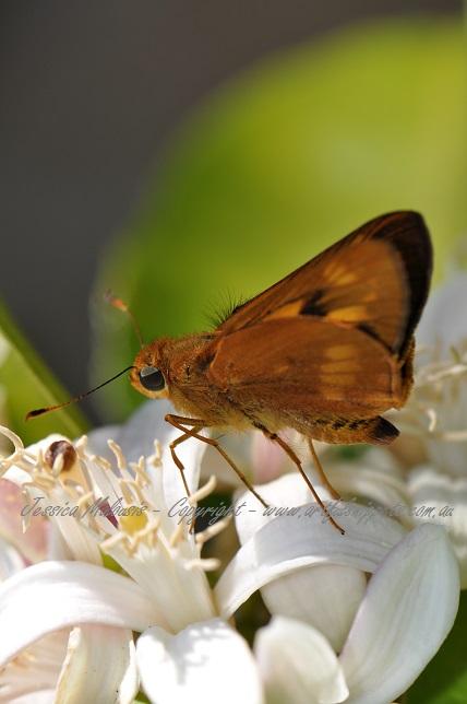 Prosperous Moth