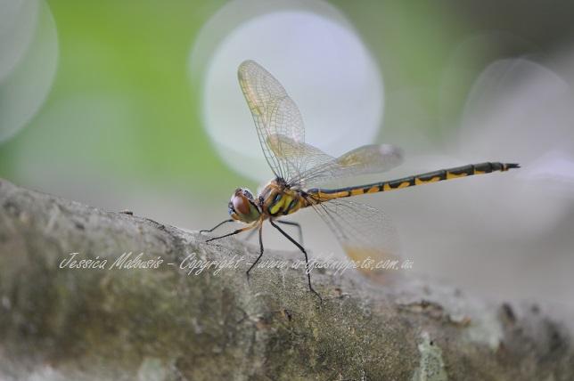 Dragonfly Ellipse