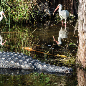 9 Amazing Things You Didn't Know About Alligators