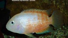 Amatitlania nigrofasciatus - leusictic