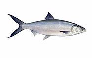 milkfish.webp