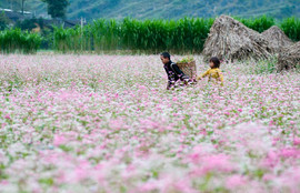 flower season in Ha Giang - The hidden places in Northern Vietnam