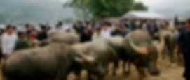 Bac Ha buffalo market.jpg