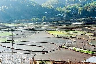 Tu Le paddy sowing.jpg
