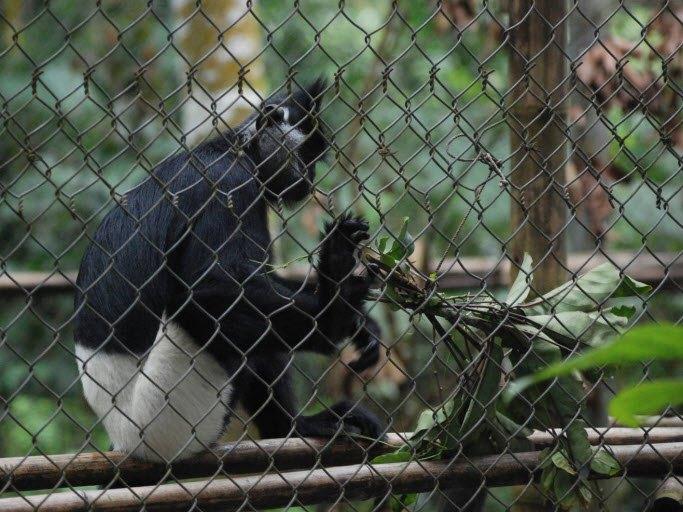 Cuc Phuong White-short langur