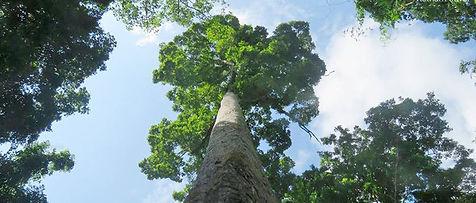 cuc_phuong_tree.jpg