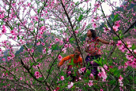 peach tree flower - ha giang - The hidden places in Northern Vietnam