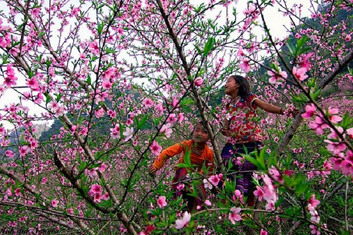 peach tree flower - Sapa travel guide