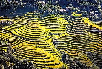 Yellow rice terraces
