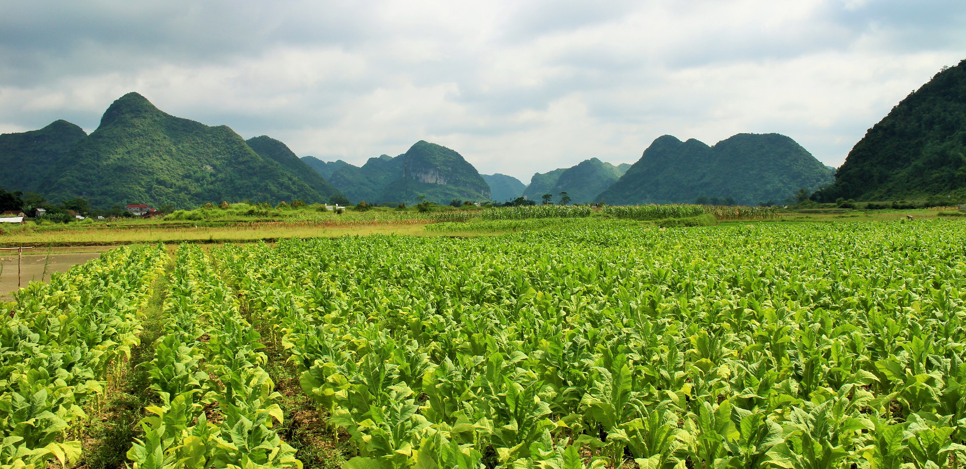 The unique corn fields in Bac Son