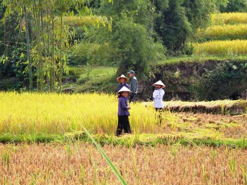 Harvesting rice in Hoang Su Phi