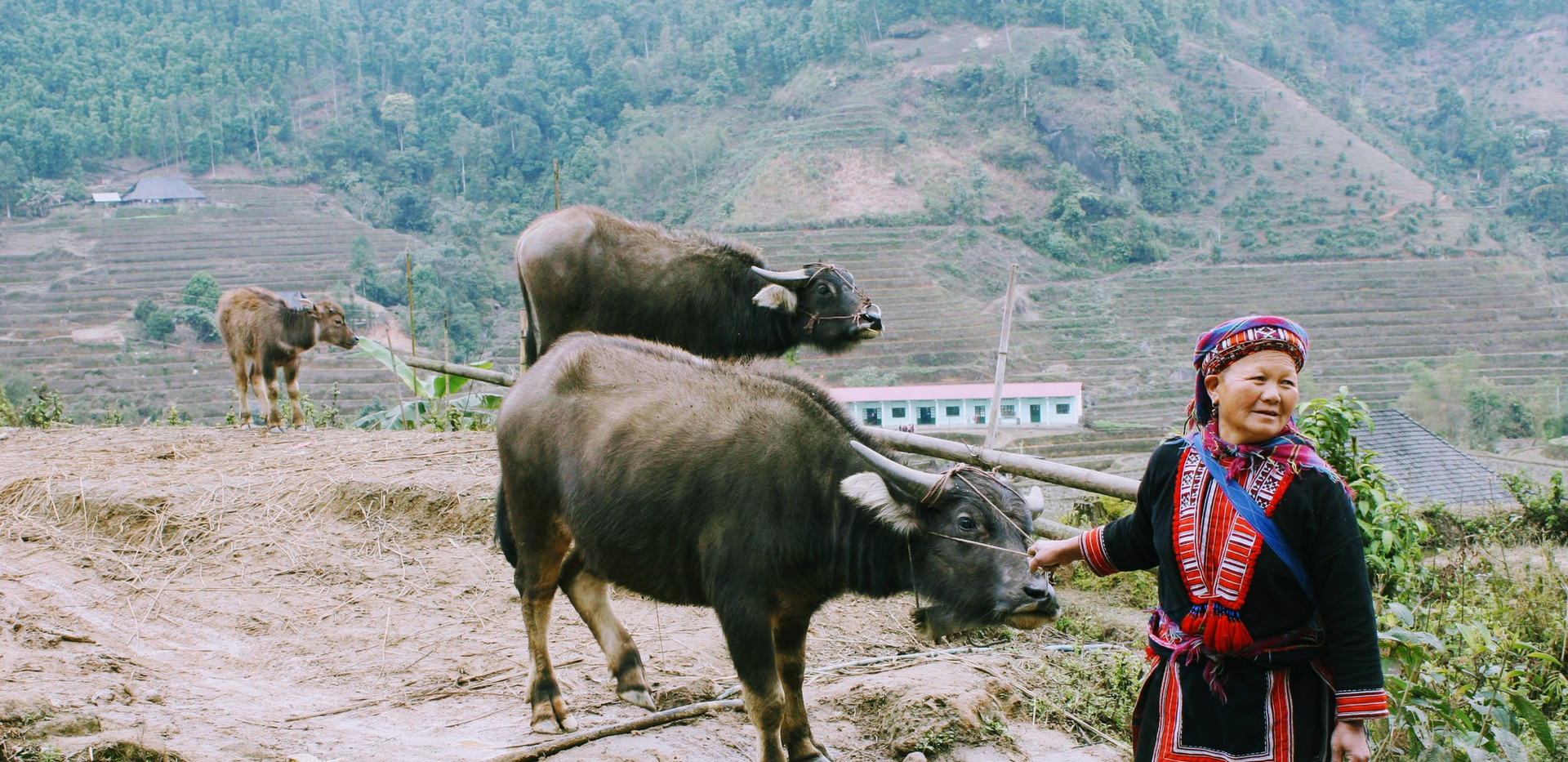 A local woman is taking her buffalo in Ha Giang