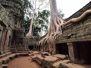 Big Fig Tree Roots Over The Ruin