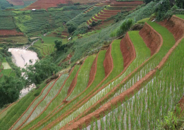 Young Rice in Mu Cang Chai