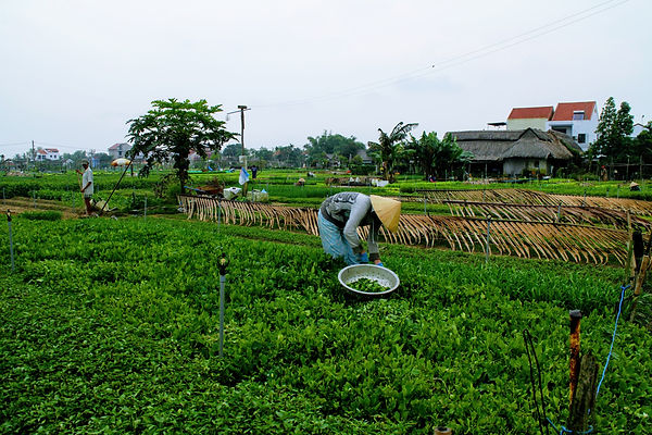 Hoi An travel guide tra que vegetable village.JPG