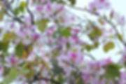 Mai Chau Travel Guide hoa-ban-tay-bac-5.jpg