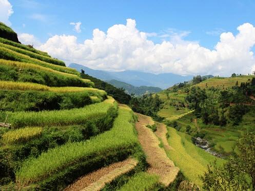 Yellow season in Hoang Su Phi