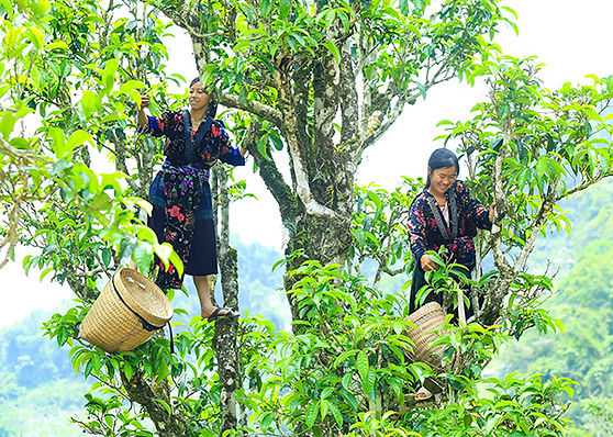 Ha Giang Travel Guide shan snow tea - ha giang.jpg