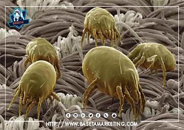 شكل حشرة العتة (عث الغبار)