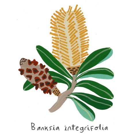 Banksia inegrifolia
