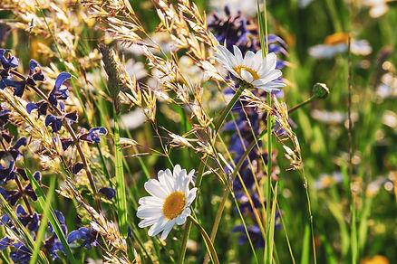 daisies-3430133.jpg