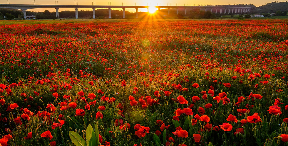 Sunset over a field of poppies in Provence