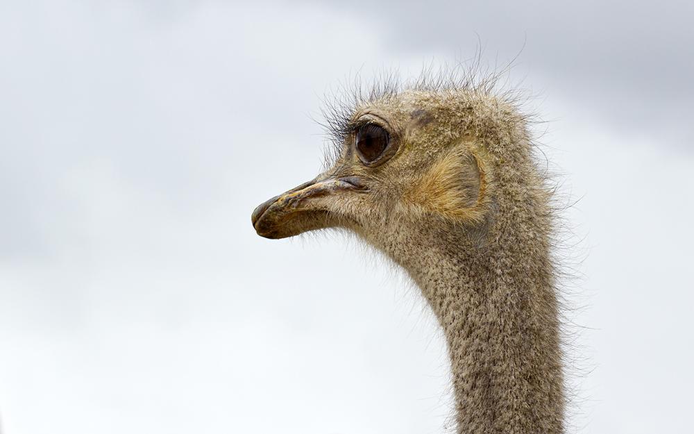 avestruz australiana