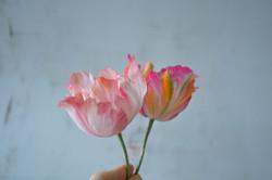 Sugar Parrot Tulip Petals by You