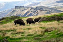 Washinbgton Buffalo