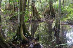Pterocarpus.jpg