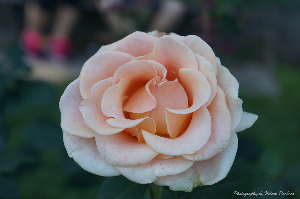 Portland Rose.jpg