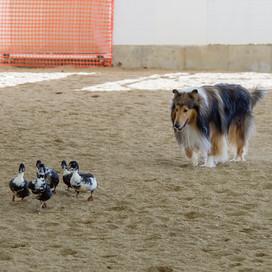 Peyton Duck Herding