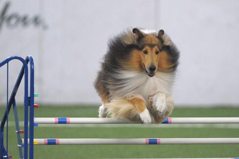 Peyton playing agility