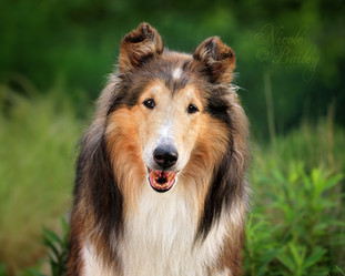 Moore Collies