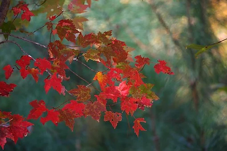 maple-leaves-62759__340.jpg