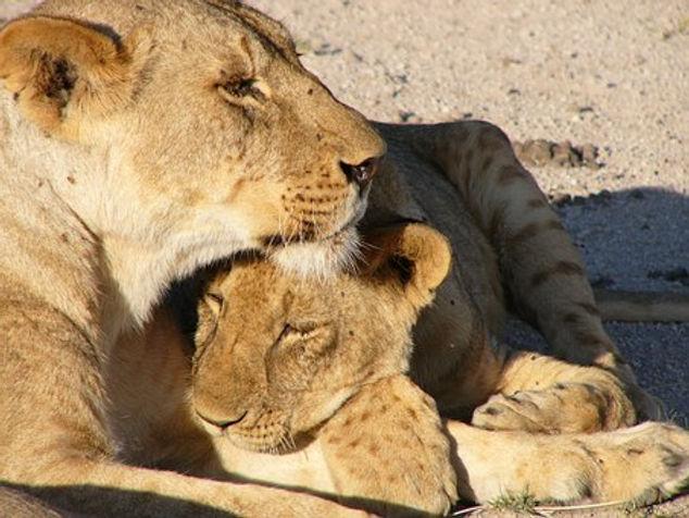 lioness-cub.jpg