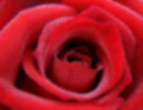 red-roseopening.jpg