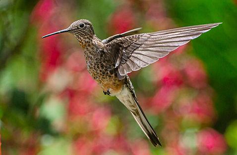 PER-_RB19848Giant Hummingbird.jpg