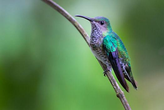 Panamá 41Amazilia amabilis.jpg
